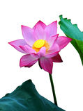 Una flor de loto rosada, Fotografía de archivo