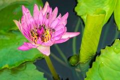Una flor de loto rosada hermosa con muchas abejas Foto de archivo