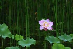 Una flor de loto se abrió solamente fotografía de archivo