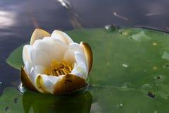 Una flor de Lotus hermosa que flota sobre el agua imagenes de archivo