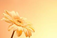 Una flor de Pale Pink Gerbera Imagen de archivo