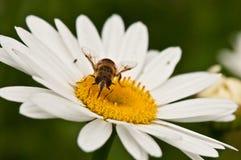Una flor de polinización de la abeja Fotografía de archivo libre de regalías