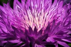 Una flor de un cardo con los pétalos largos brillantemente violetas imagen de archivo