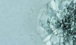 Una flor de un clavel turquesa-blanco en un fondo monofónico de la turquesa Primer Fondo floral para una postal imagenes de archivo