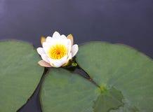 Una flor de un lirio de agua blanca con los pétalos delicados se va Fotografía de archivo libre de regalías