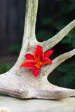 Una flor de un lirio rojo Fotografía de archivo