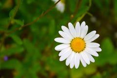 Una flor de una manzanilla del bosque en un b borroso Imágenes de archivo libres de regalías