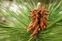 Una flor del árbol de pino fotografía de archivo
