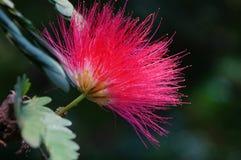 Una flor del árbol de seda o de la mimosa persa Imágenes de archivo libres de regalías