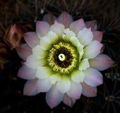 Una flor del cactus Fotografía de archivo libre de regalías