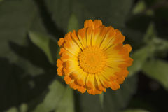 Una flor del calendula Fotografía de archivo libre de regalías
