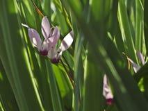 Una flor del ciclamen rodeada por el verde foto de archivo libre de regalías