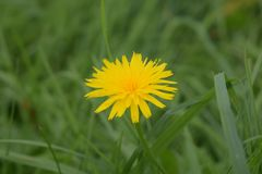 Una flor del diente de león en la hierba Imagen de archivo libre de regalías