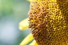 una flor del girasol en naranja empañó el fondo, bandera para los web Imagen de archivo libre de regalías