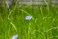 Una flor del lino en el jardín de la familia Fotografía de archivo libre de regalías