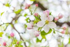 Una flor del flor del manzano en rama en la primavera Flor floreciente hermosa aislada con el fondo borroso imagen de archivo
