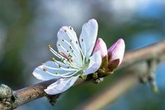 Una flor del melocotón con dos brotes fotografía de archivo
