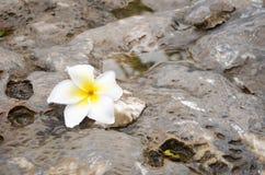 Una flor del plumeria en la piedra Fotos de archivo