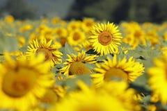 Una flor en un campo de los girasoles Fotos de archivo