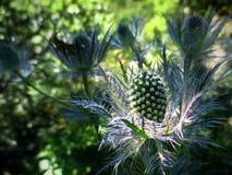 Una flor espinosa imagen de archivo