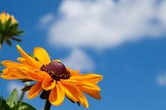 Una flor eyed negro de susan imagenes de archivo