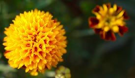Una flor fresca de la maravilla capturada en un jardín en cierre para arriba imagenes de archivo