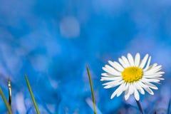 Una flor gowan de la margarita Foto de archivo libre de regalías