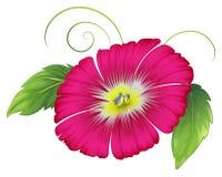 Una flor grande del rosa del clavel Fotografía de archivo libre de regalías