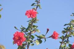 Una flor hermosa de la buganvilla con la planta Imágenes de archivo libres de regalías