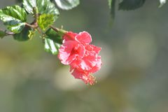 Una flor hermosa de la buganvilla con la planta Imagen de archivo libre de regalías