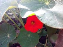Una flor hermosa de la capuchina fotografía de archivo