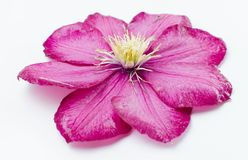 Una flor hermosa de Rose Fotografía de archivo