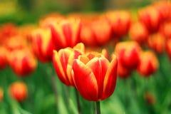 Una flor hermosa del tulipán en el jardín fotos de archivo libres de regalías
