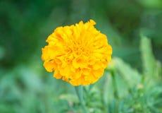 Una flor joven amarilla imágenes de archivo libres de regalías