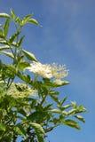 Una flor más vieja Imagen de archivo