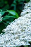 Una flor más vieja (nigra del Sambucus) Imagen de archivo libre de regalías