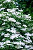 Una flor más vieja (nigra del Sambucus) Fotografía de archivo libre de regalías