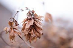 Una flor marchitada del salto en un fondo borroso Cierre de la flor del salto Fotos de archivo
