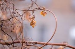 Una flor marchitada del salto en un fondo borroso Cierre de la flor del salto Fotos de archivo libres de regalías