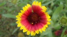 Una flor multicolora Imagen de archivo libre de regalías