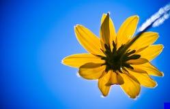 Una flor negra de susan con el fondo del cielo azul Fotografía de archivo
