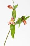 Una flor no floreciente del tronco de lirio rojo Fotos de archivo