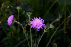 Una flor púrpura del campo de la madreselva Fotografía de archivo libre de regalías