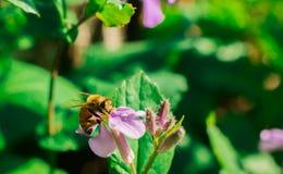 Una flor púrpura del shokatsusai Imágenes de archivo libres de regalías