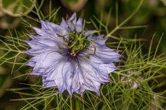 Una flor púrpura extraña Fotos de archivo libres de regalías