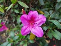 Una flor púrpura hermosa Foto de archivo