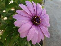 Una flor púrpura hermosa con descensos del agua en ella Imagenes de archivo