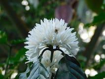 Una flor robusta del café fotografía de archivo libre de regalías