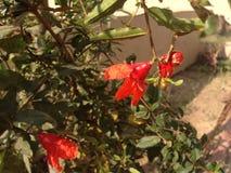 Una flor roja Fotografía de archivo