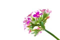Una flor roja aislada Imagen de archivo